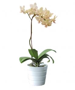 mini cream orchid 89