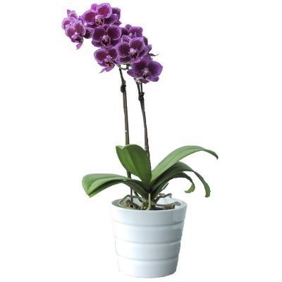 mini purple orchid 89