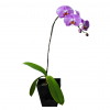 Purple Potted Orchid (O1)